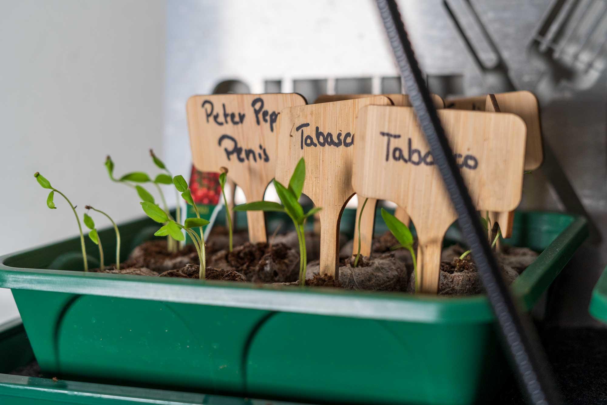 Chilis anbauen – Erfahrungsbericht unserer eigenen Chilizucht