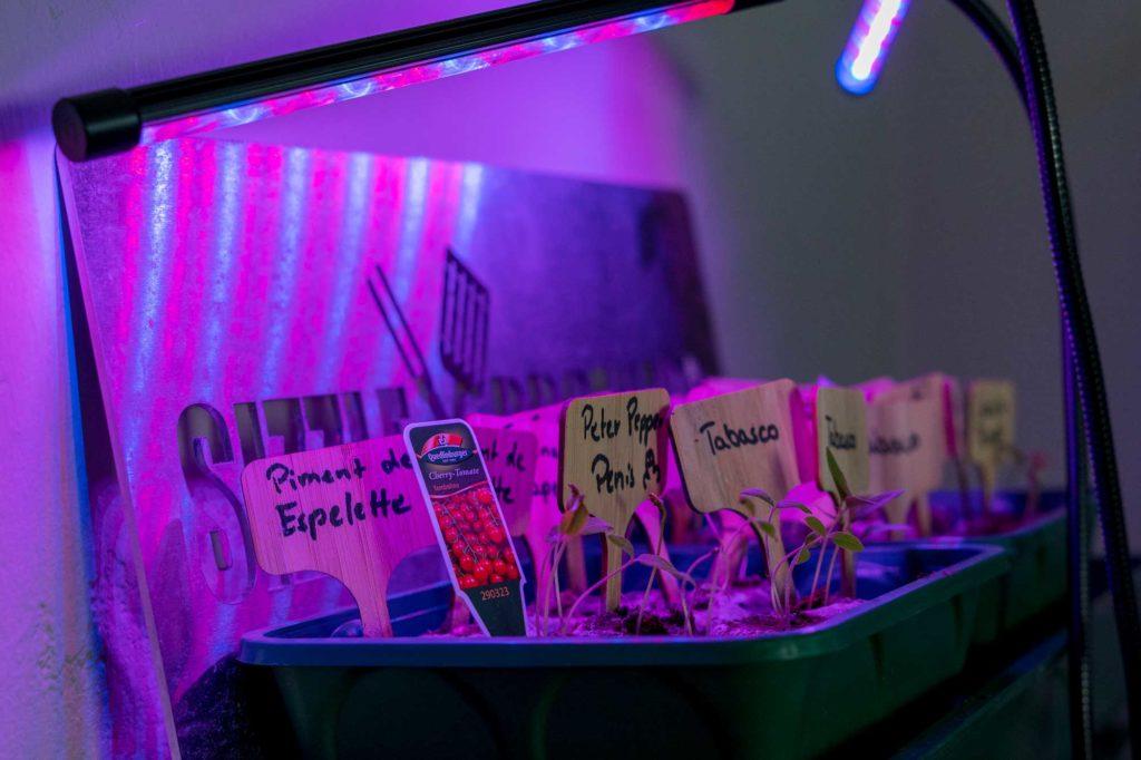 Dank des Pflanzenlichts bekommen die Sprösslinge nun 12 h lang perfektes Licht