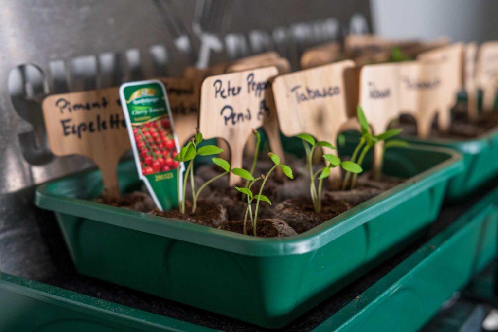 Nach weiteren 7 Tagen sind die Pflanzen schon recht hoch gewachsen, zu hoch! Sie vergeilen und brauchen mehr Licht
