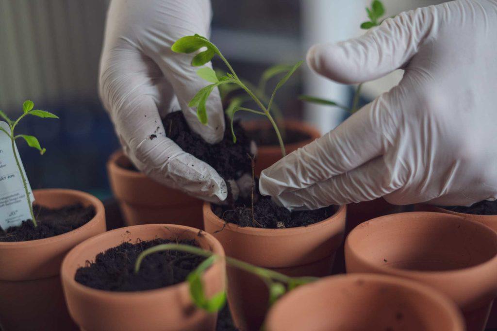 Sie werden in 8 cm große Tontöpfe gepflanzt