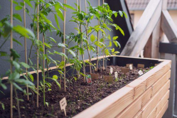 Hochbeet bepflanzt mit Tomaten und Kräutern