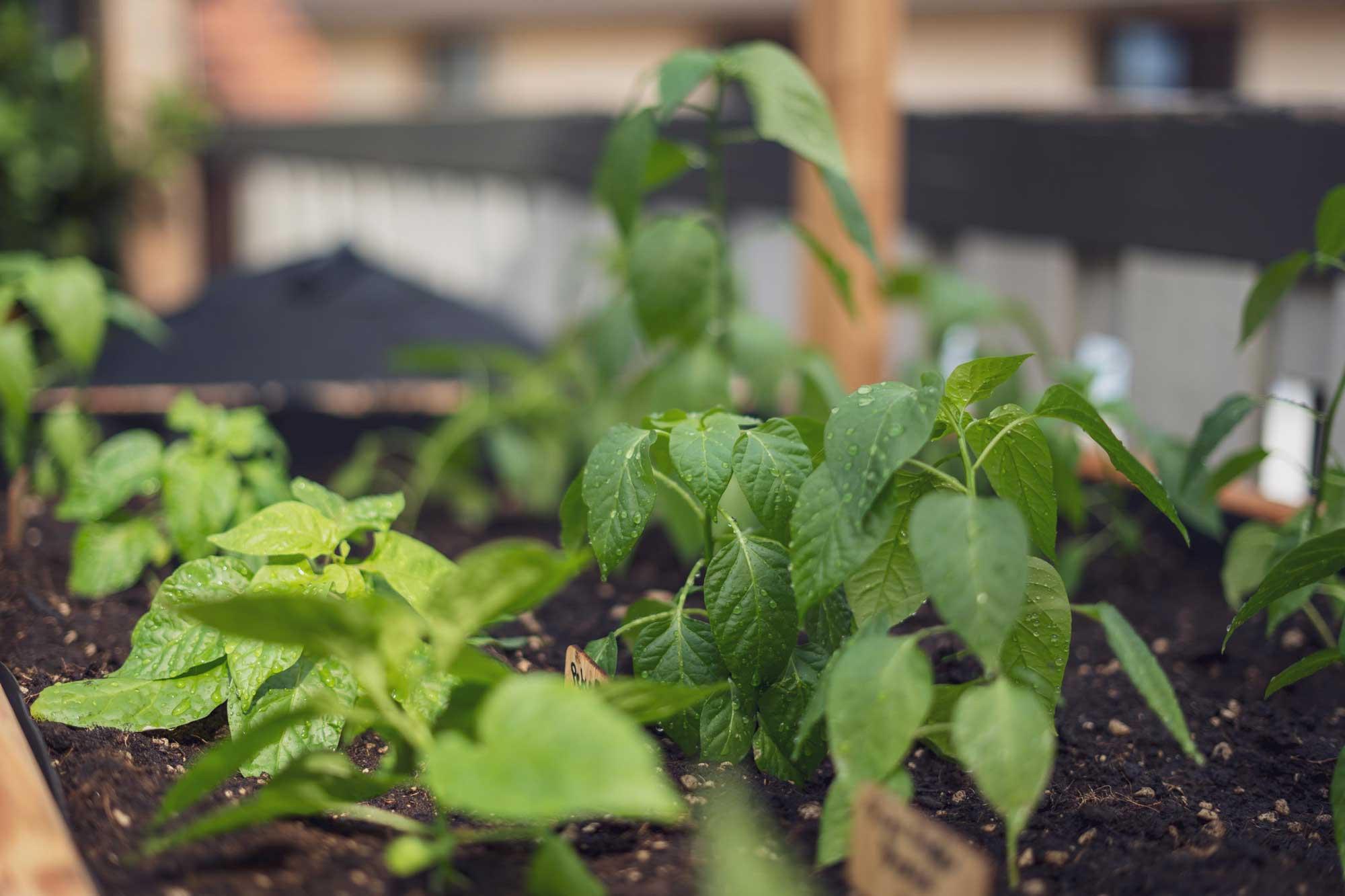 Anfänglich lassen sie die Blätter hängen, das ist aber normal direkt nach dem auspflanzen.