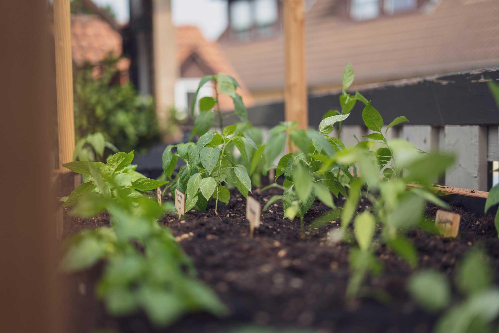 Die Chilis sind ausgepflanzt