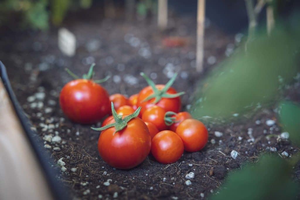 Frische Tomaten aus unserem Hochbeet